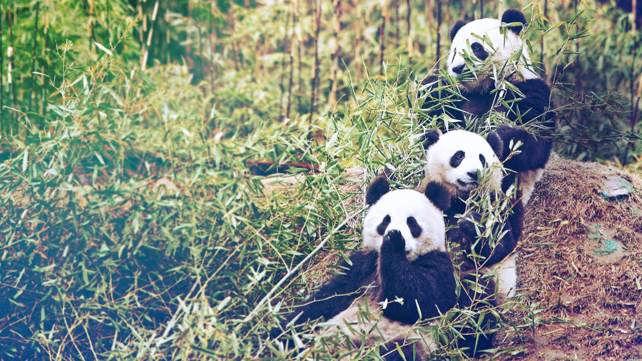 How I Got My Dream Job Traveling The World And Taking Care Of Pandas   Fast Company