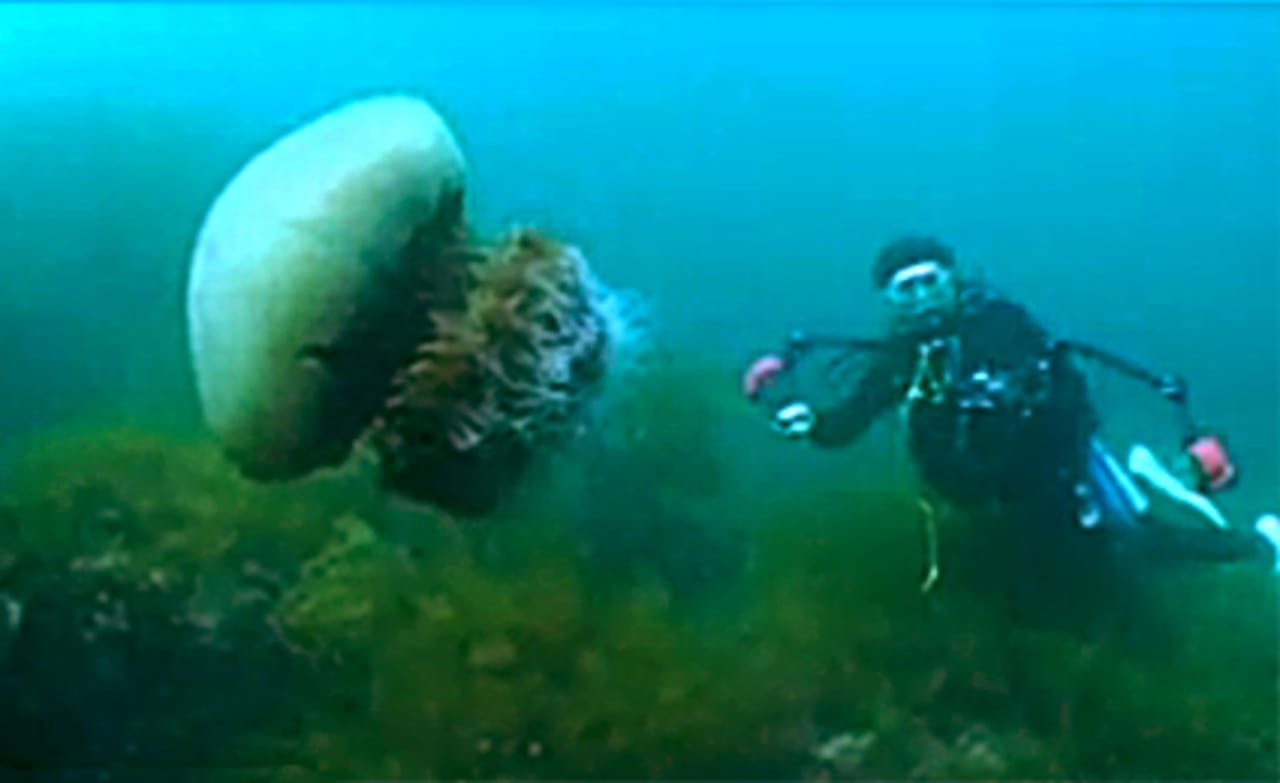 Japanese Fight Giant Jellyfish Invasion With Jellyfish ...Japanese Giant Jellyfish
