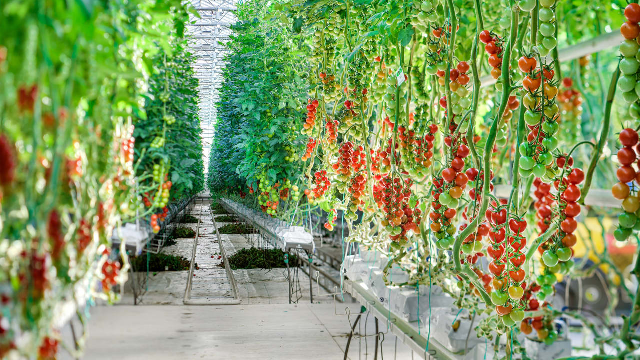 P 1 a chicago area greenhouse has perfected the art of growing quality tomatoes year round