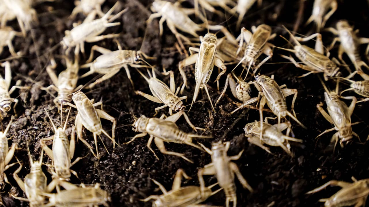 Image result for An Automated Cricket Farm Could Bring Bug-Based Food to the Masses