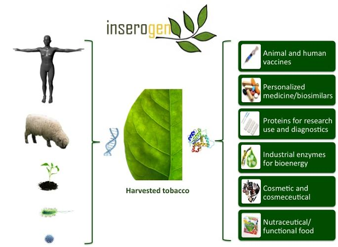 <p>Inserogen, a team from University of California, Davis, is developing a plant-based vaccine production platform called SwiftVax that can generate vaccines significantly faster than the traditional method of extracting vaccines from fluid in chicken eggs. SwiftVax, which grows vaccines in tobacco plants, is currently working on a vaccine for Newcastle disease--a devastating disease found in poultry.</p>