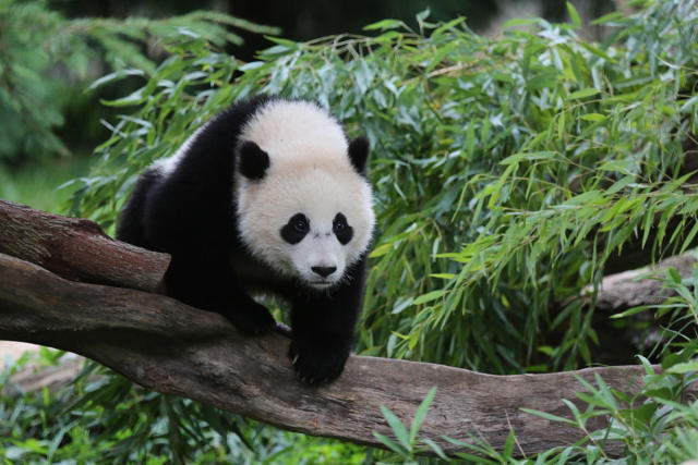 Bao Bao The Panda Begins Journey To China