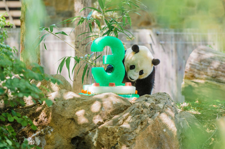 National Zoo Says Last Goodbye to Bao Bao
